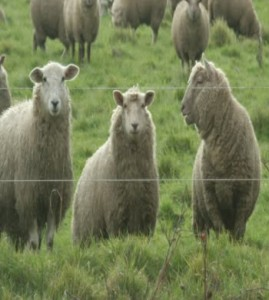 sheep chatting